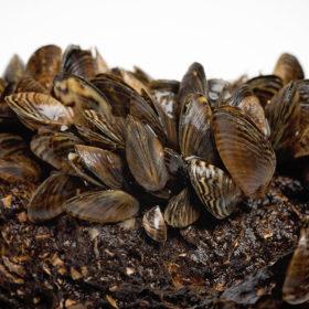 Image of zebra mussels